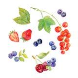 Ilustração tirada mão das bagas Pintura botânica da aquarela Imagem de Stock