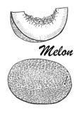 Ilustração tirada mão do melão Ilustração botânica do alimento Ilustração do vetor com fruto do esboço Foto de Stock Royalty Free