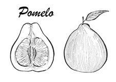 Ilustração tirada mão do pomelo Ilustração botânica do alimento Ilustração do vetor com fruto do esboço Foto de Stock Royalty Free