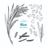 Ilustração tirada mão do vetor do arroz ilustração royalty free