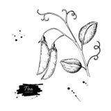 Ilustração tirada mão do vetor da vagem de ervilha Engra vegetal isolado Foto de Stock Royalty Free