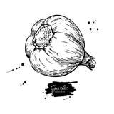 Ilustração tirada mão do vetor do alho Engra vegetal Imagem de Stock Royalty Free