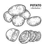 Ilustração tirada mão do vetor dos alimentos frescos da batata, desenho, engra Imagens de Stock Royalty Free