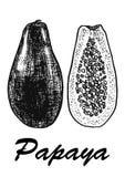 Ilustração tirada mão do vetor do esboço da papaia Ilustração botânica do alimento Ilustração do vetor com fruto do esboço preto Imagens de Stock