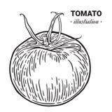 Ilustração tirada mão dos alimentos frescos do tomate, desenho, engra Fotos de Stock