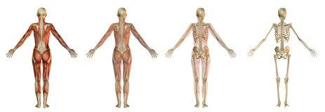 Ilustrações do corpo humano Foto de Stock Royalty Free