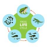 Ilustrações infographic da natureza do ciclo de vida da rã Isolado das imagens do vetor da escola ilustração do vetor