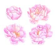 Ilustrações tiradas mão da aquarela Flores cor-de-rosa dos peonies excepto Fotografia de Stock Royalty Free