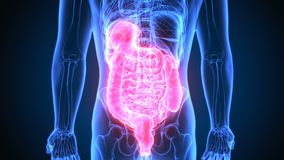 ilustra??o 3d da anatomia do sistema digestivo de corpo humano ilustração do vetor