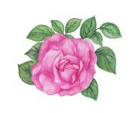 Ilustración color de rosa del color de rosa Imagen de archivo