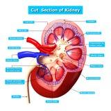 Ejemplo de la sección representativa del riñón con nombres Foto de archivo libre de regalías