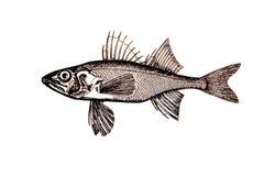 Ilustración de los pescados de la perca Foto de archivo libre de regalías