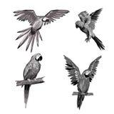 Ilustración del vector Seth de loros en diversos ángulos Negro, blanco, gris Imagen de archivo libre de regalías