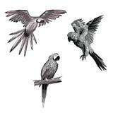 Ilustración del vector Sistema de los loros, loros que vuelan Loro que se sienta en una ramificación Imagen blanco y negro y gris Imagen de archivo