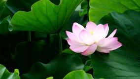 Ilustración del zen de la flor de loto almacen de metraje de vídeo