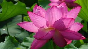 Ilustración del zen de la flor de loto metrajes