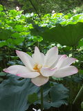 Ilustración del zen de la flor de loto Imágenes de archivo libres de regalías