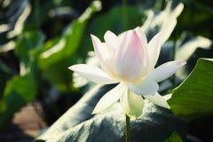 Ilustración del zen de la flor de loto Fotografía de archivo