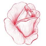 Ilustración drenada mano color de rosa del brote del rojo Imagenes de archivo