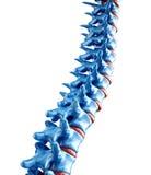 Ilustración humana de la espina dorsal Fotos de archivo libres de regalías