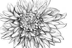 Ilustración drenada mano monocromática de la flor Foto de archivo