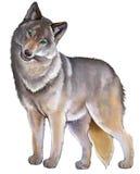 Ilustracja śliczny trwanie szary wilk na białym tle Obrazy Stock