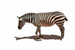 Ilustracja Afrykańska zebra zdjęcie stock