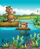 Dwa bobra przy głęboką rzeką Fotografia Royalty Free