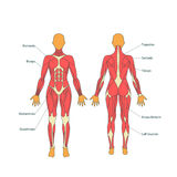 Ilustracja ludzcy mięśnie Żeński ciało Gym szkolenie Frontowy i tylni widok Mięśnia mężczyzna anatomia Obraz Royalty Free