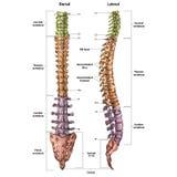 Ilustracja ludzki kręgosłup z opisem wszystko i imieniem miejsca royalty ilustracja