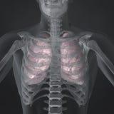 Płuca Fotografia Stock
