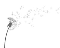 Dandelion Obraz Stock