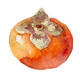 Ilustracja owocowy persimmon Ręka rysująca akwarela na białym tle Obrazy Stock