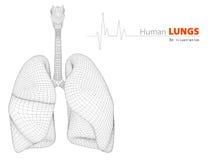 Ilustracja płuca - części istota ludzka Organicznie ilustracja wektor