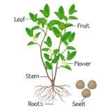 Ilustracja pokazuje rośliien części zielonej herbaty kameliowy sinensis na białym tle royalty ilustracja