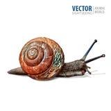 Ilustracja realistyczny Ogrodowy ślimaczek Wektor odizolowywający na białym tle Obraz Royalty Free