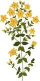 Ilustracja rośliny Hypericum, odizolowywająca Fotografia Stock
