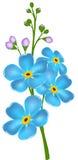 Ilustracja z niezapominajkowym kwiatem Zdjęcie Royalty Free