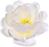 Ilustracja z pojedynczym brier kwiatem odizolowywającym na bielu ilustracji