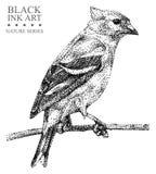 Ilustracja z ptasim czyżykiem rysującym ręką z czarnym atramentem Obrazy Stock