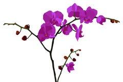 Ilustracja z purpurową orchideą Zdjęcia Stock