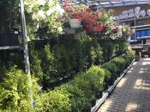 ilustracji sklepu smellcomp kwiat Jaskrawych kwiatów i zielonych rośliien stojak pakował w garnkach na półkach i tacach w sklepie Obraz Royalty Free