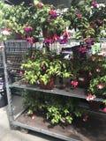 ilustracji sklepu smellcomp kwiat Jaskrawych kwiatów i zielonych rośliien stojak pakował w garnkach na półkach i tacach w sklepie Obraz Stock