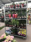 ilustracji sklepu smellcomp kwiat Jaskrawych kwiatów i zielonych rośliien stojak pakował w garnkach na półkach i tacach w sklepie Fotografia Royalty Free
