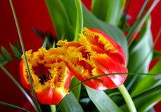 Ilustracyjnego †'zbliżenie skład kwitnąć Botanicznego tulipanu Zdjęcia Stock