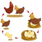 Ilustrador do ciclo de vida da galinha ilustração stock