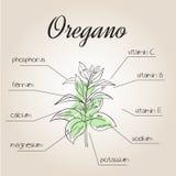 Ilustração do vetor da lista nutriente para oréganos Imagem de Stock