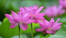 Ilustração do zen da flor dos lótus Imagem de Stock