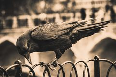 Ilustration einer schwarzen Krähe, die auf einem Zaun unter Verwendung seines steht, hält sich beim Hacken mit seinem Schnabel fe lizenzfreies stockbild