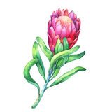 Ilustration of a pink Protea flowers and tropical plants. Tropical flower Protea with green leaves.  Hand drawn watercolor painting on white background Royalty Free Stock Photos